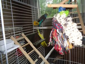 3 Beautiful Young Budgies and Cage