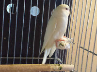 BEAUTIFUL BUDGIE FOR SALE