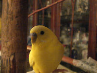 LOST TAME YELLOW BUDGIE