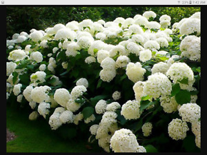 PLANTS, SHRUBS, FLOWERS, BOXWOOD, HYDRANGEAS, WEIGELA, GRASS
