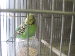 12 English Budgies plus accessories