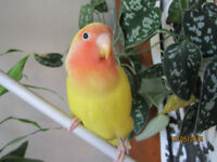 Super Tame Love Bird, cage, food and accessories