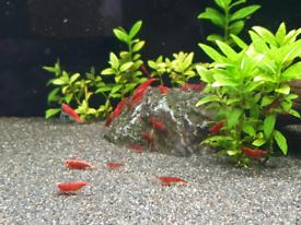 Quality cherry shrimp