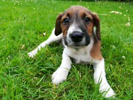 Puppies in Plymouth, Devon | Dogs & Puppies for Sale - Gumtree