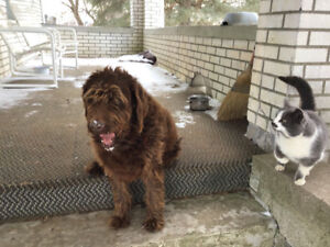 Free Pets - Cat and Labradoodle Dog