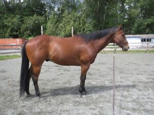 Horse: 16.1 hh dark bay 13 year old registered TB gelding - $500