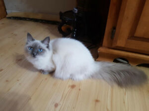 Beautiful Blue Point Lynx kitten available