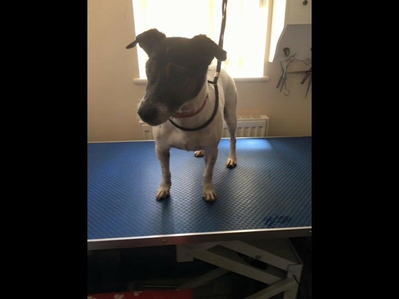 Jack Russell in need of a good home