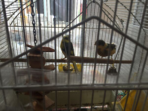 2 canaries with cage and toys