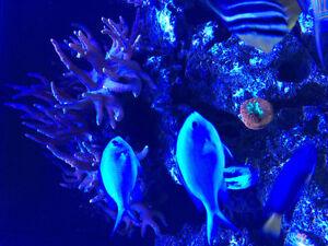 Saltwater aquarium corals