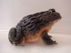 Giant Male Pixie Frog