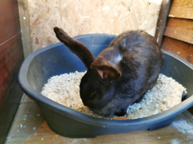 Continental giant rabbit doe