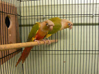 4 PAIRS OF GREEN CHEEK CONURES