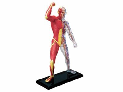 Human Muscle Anatomy Model Skeleton Medical Teaching Educations Laboratory Tools