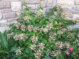 Garden X L Hydrangea Shrub Mature &  All Summer Blooming
