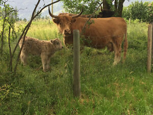 Highland Cow Calf Pair (Others available too)