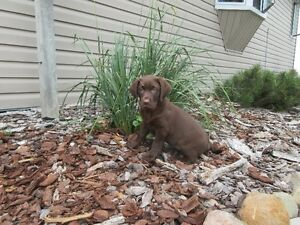 Purebred Chocolate Labrador Retriever Puppy
