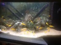 Yellow labs, African cichlids