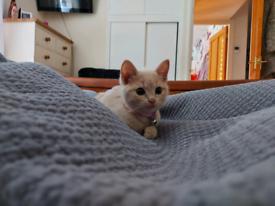 Gorgeous/unique half bengal cream kitten