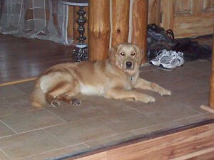 Lost Golden Retriever