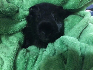 Looking for a Baby Male Guinea Pig