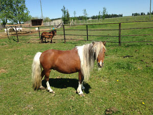Miniature Horse Brood Mare!