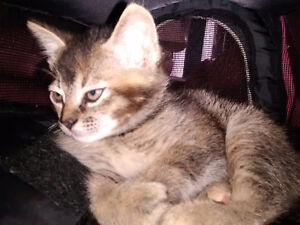 Chaton Abyssin + MainCoon// FAIRE SON OFFRE