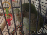 STILL AVAILABLE - Green Quaker Parrots to a Good Homes!