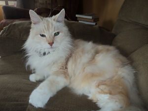 Free - Beautiful Male, long-haired cat