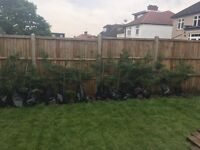 Fern trees 1.5m tall for sale x 15