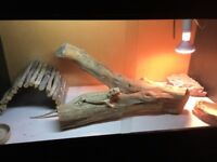 Bearded dragon with full set up for sale
