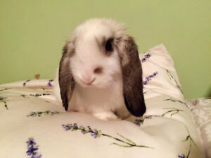 2 Year Old Holland Lop Rabbit for Rehoming