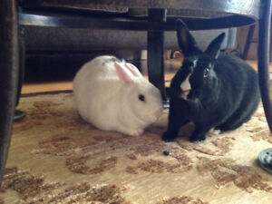 Two five year old dwarf rabbits