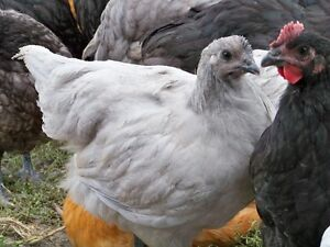 10 week old chickens for sale