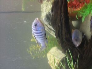 African Cichlid fish for sale