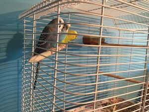 Budgies for sale! Make an offer
