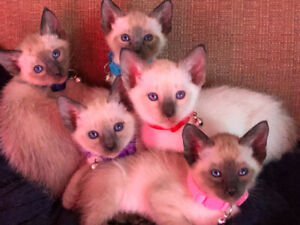 Beautiful Baby Siamese Kittens- all found homes