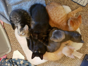 TCR KITTENS 13 WEEKS OLD