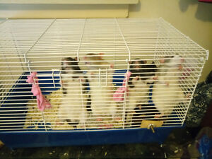 Male rats cage food shavings