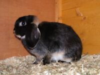 female lop and cage