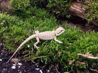 5 bearded dragons males and females $25 each