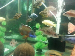 Cichlid Fish for sale