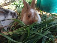 Beautiful female bunny for sale!