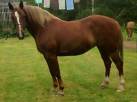 QH/Belgian cross mare 15.1hh approx 14yrs old