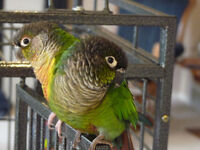 2 Beautiful Conures