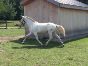 Cremello German Riding Pony 2 yr old Mare