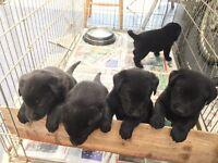 Black German Shepherd Puppies, 8 weeks old, BelguimShephered