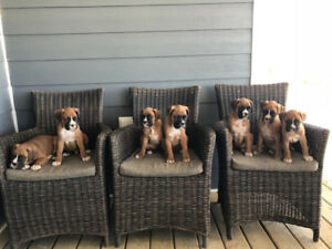 Boxer puppies READY FOR FOREVER HOMES NOW!!