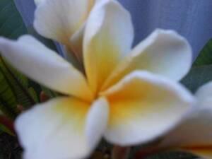 frangipanis Meadow Springs Mandurah Area Preview