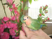 many tame baby love birds for sale ( ONLY 1 LEFT)